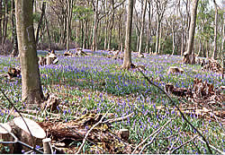 Bluebells in springtime after coppicing